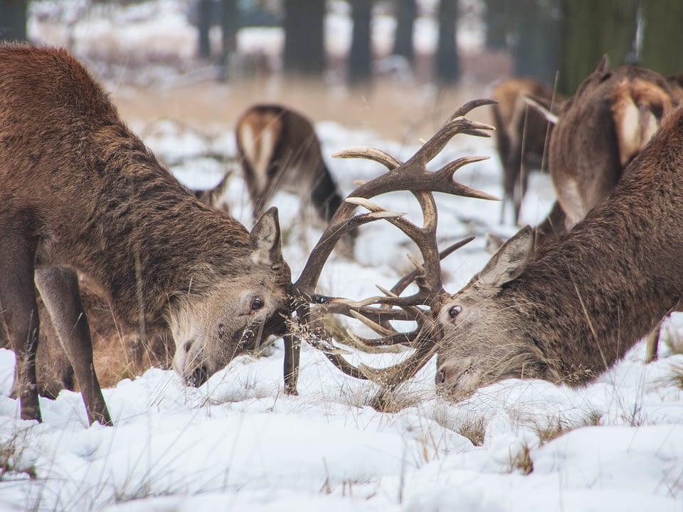 Fighting-deer-feedback